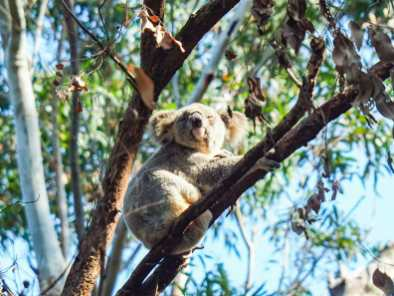 Hanging out at the top of the gum tree