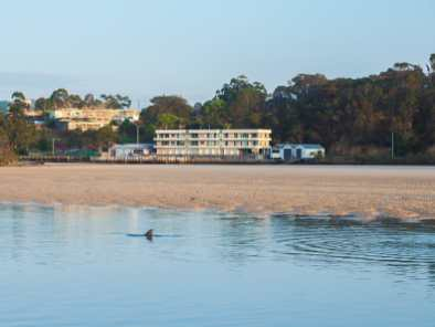 Dolphins swimming in the Nambucca River