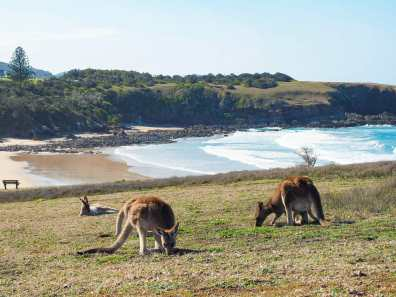 Kangaroos at Emerald Beach
