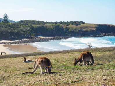 Kangaroos at Emerald Beach
