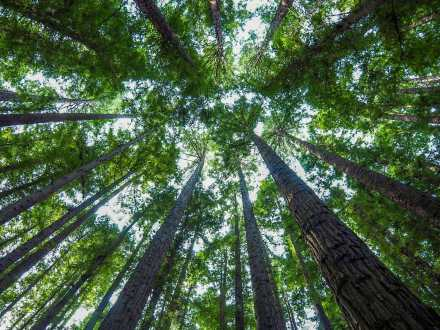 Surrounded by trees in the Redwood Forest