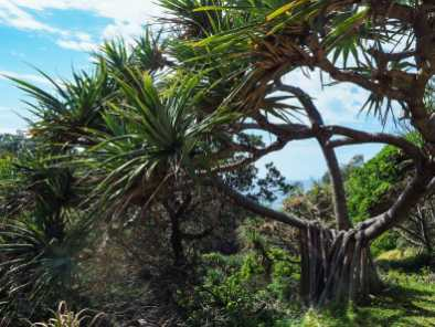 Amazing Screw Palm on the North Gorge Walk