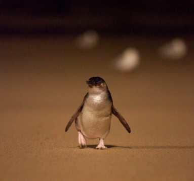 Little Penguin waddling up the beach