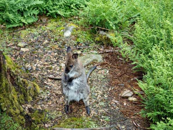 Sweet little wallaby joey