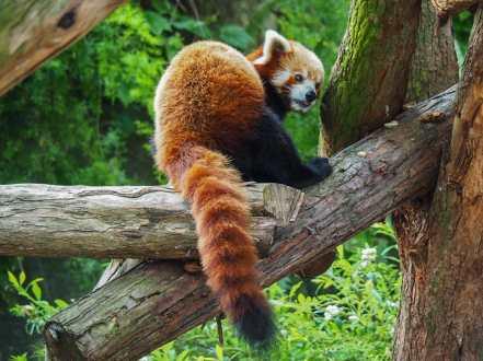 Red Panda at Taronga Zoo