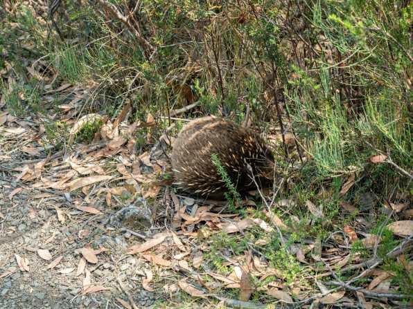Shy echidna along the trail