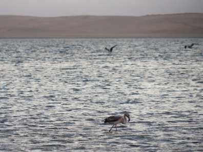 Flamingos in Paracas