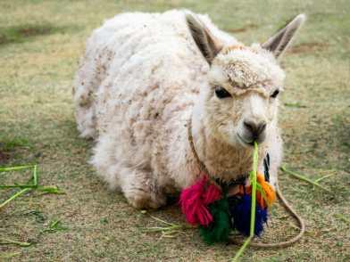 Adorable alpaca around Cusco