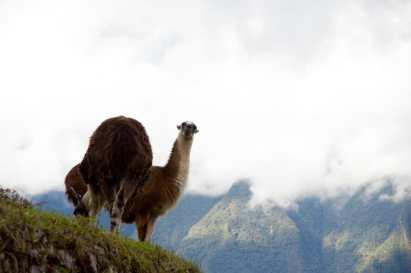 Llamas along the Inca Trail