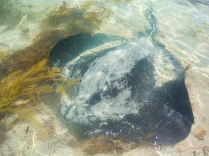 Stingray Hamelin Bay Western Australia