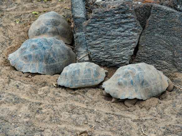 Baby galápagos tortoises at breeding centre on Isla Isabela