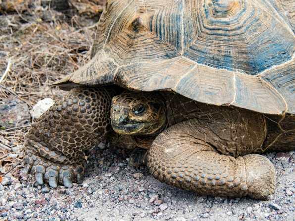 Shy tortoise on Isla Isabela