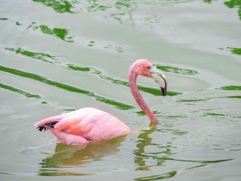 Flamingos in the Galápagos