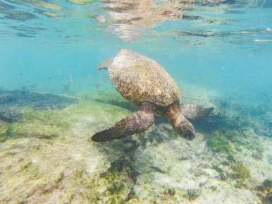 Sea turtle swimming Galápagos