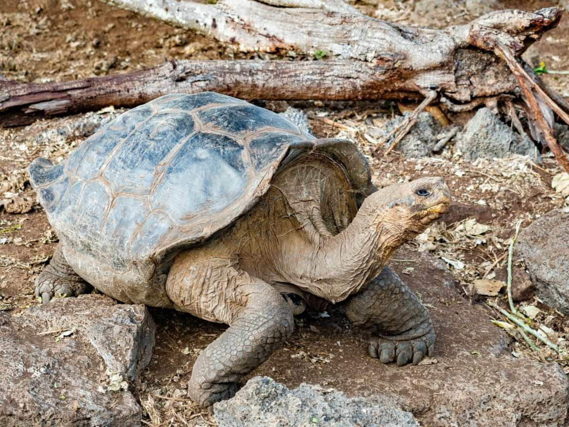 Galápagos tortoise standing on rocky ground