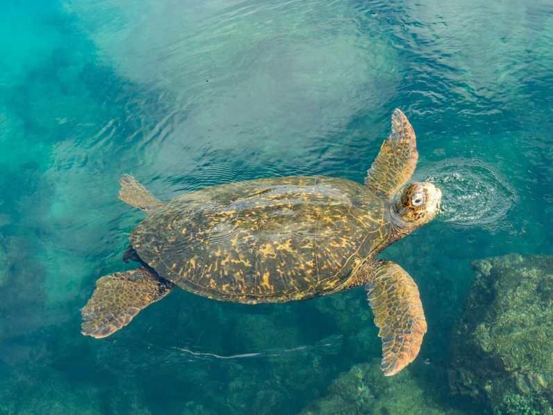 Sea turtle on Isla Isabela