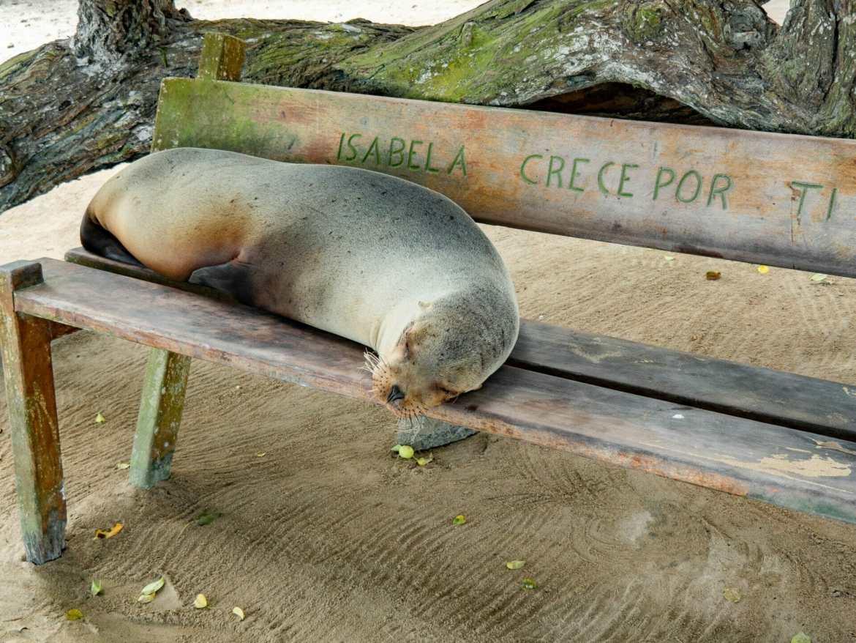 Galápagos sea lion sleeping on bench Isla Isabela