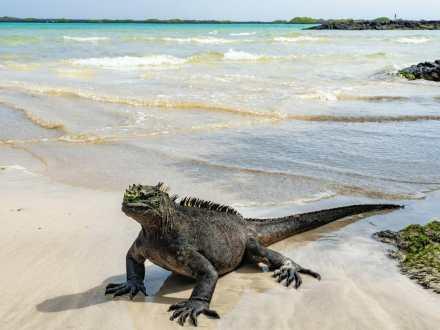 Marine iguana posing on the beach