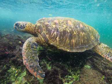 Sea turtle swimming underwater at Las Tintoreras