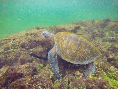 Sea turtle swimming at Los Tuneles