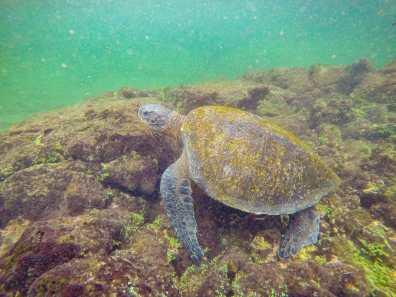 Turtles at Los Tuneles