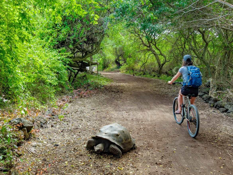 Girl riding bike next to Galápagos tortoise on road