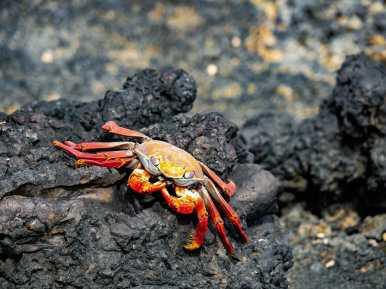 Red Sally Lightfoot Crab on black volcanic rock