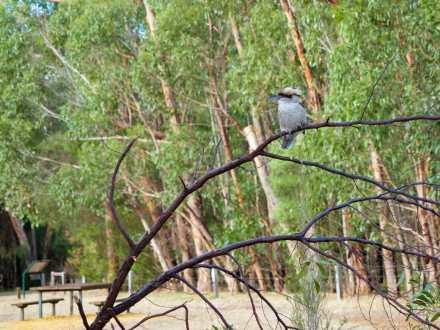 Kookaburra at Borough Huts Campground