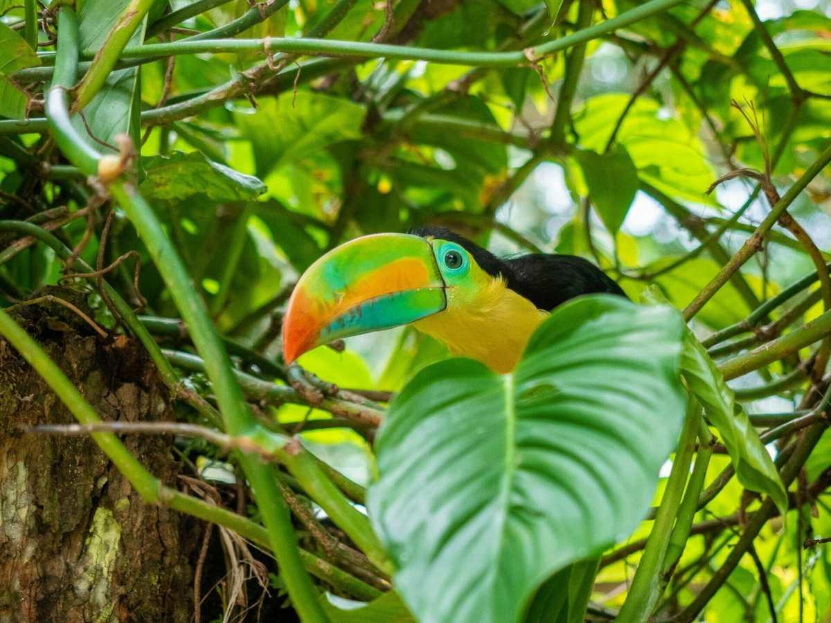 Toucan jungle bird Minca Colombia