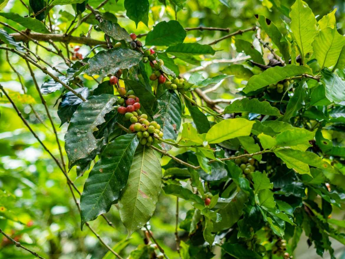 coffee plant tree finca Minca Colombia
