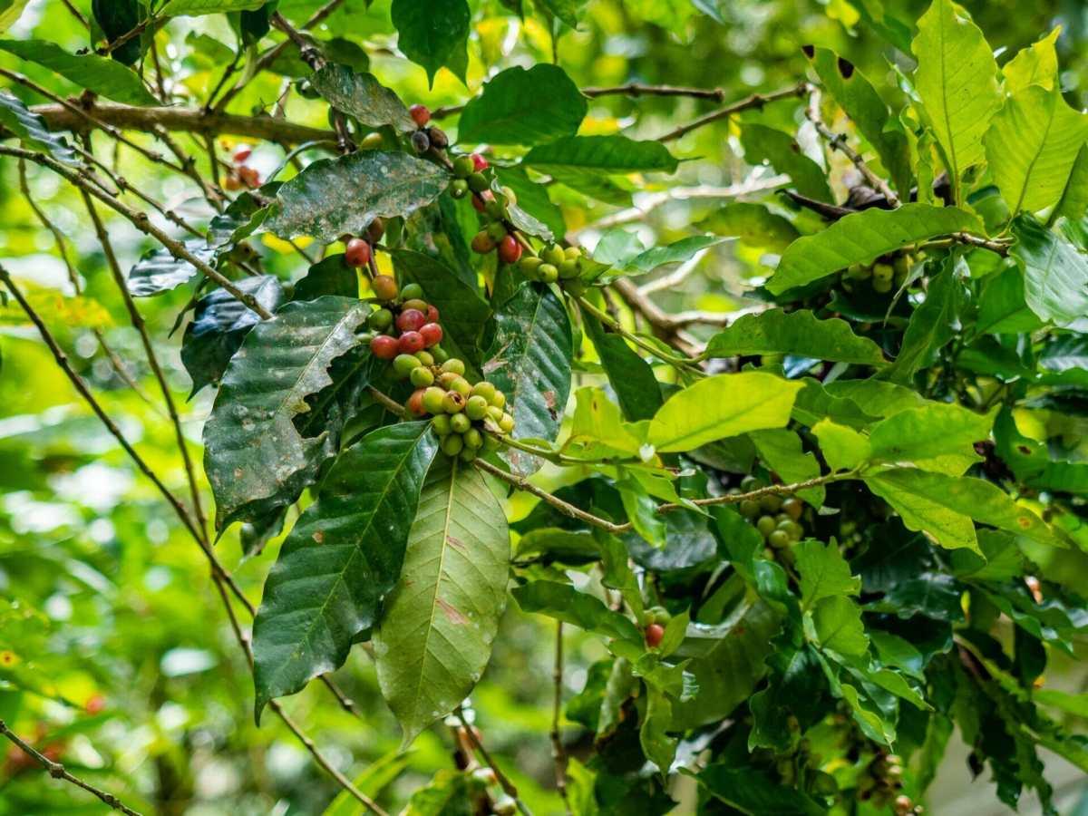 coffee plant tree finca Minca Colombia
