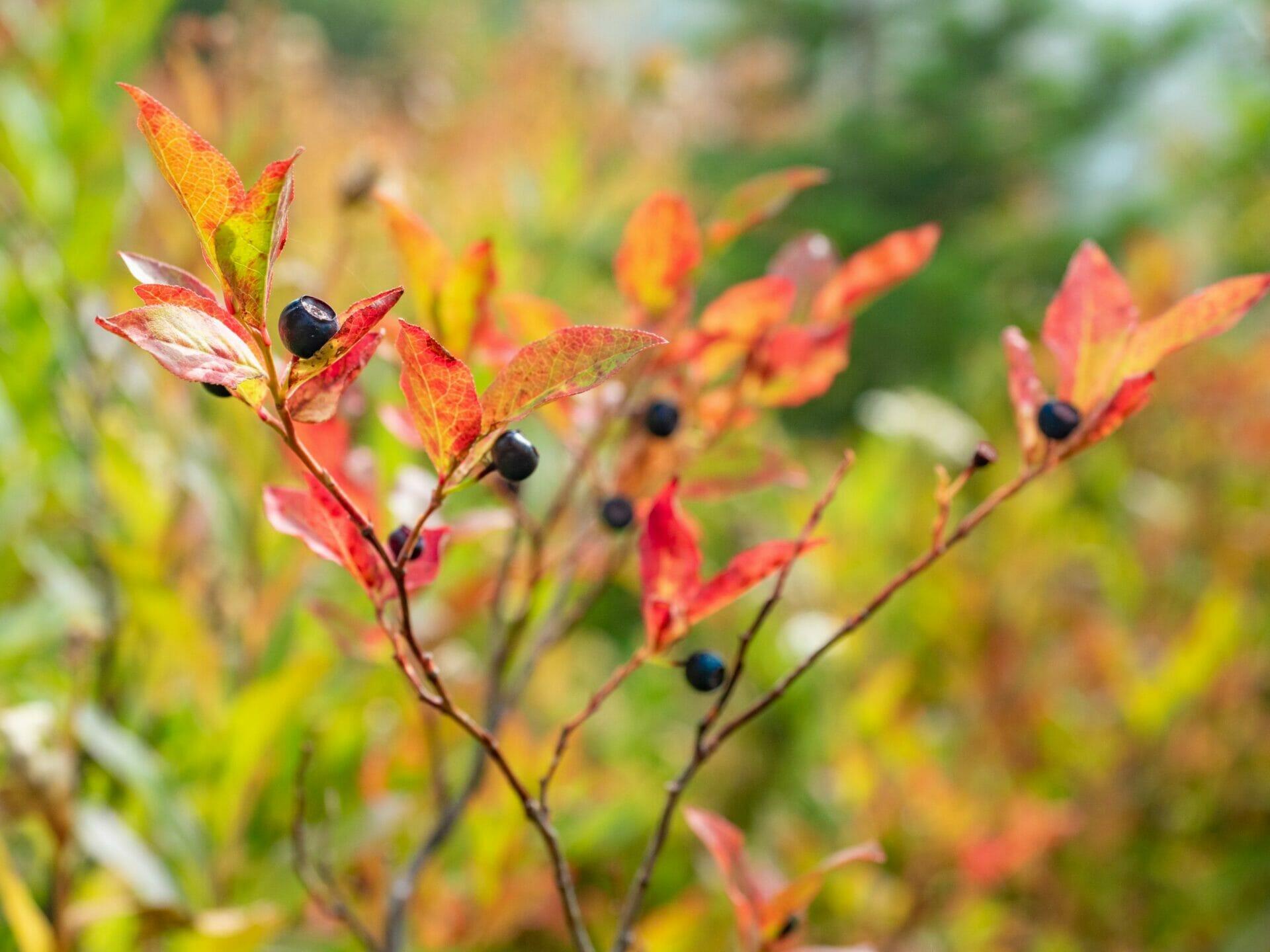 Wild huckleberries blueberries Alpine Lakes Wilderness