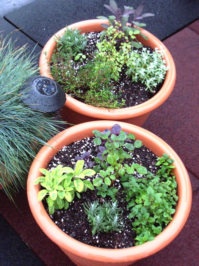 herb_roses_roofgarden_june