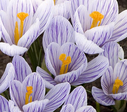 crocus_pickwick_whiteflowerfarm