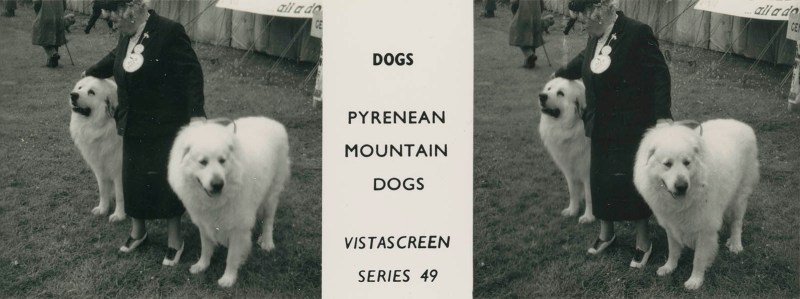 "Series 49 ""Dogs"" - Pyrenean Mountain Dogs"