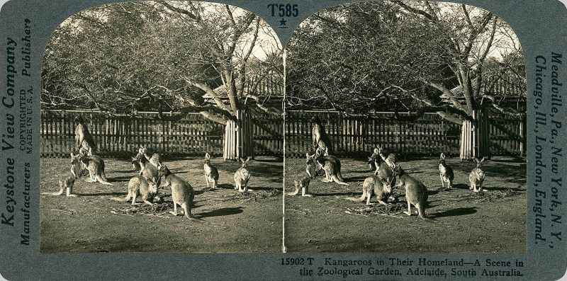 Kangaroos in their Homeland-A Scene in the Zoological Garden, Adelaide, South Australia.