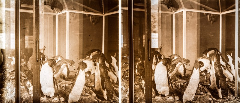 An image depicting a number of taxidermic penguins in a glass enclosure, Grande Galerie de l'Évolution, Paris.