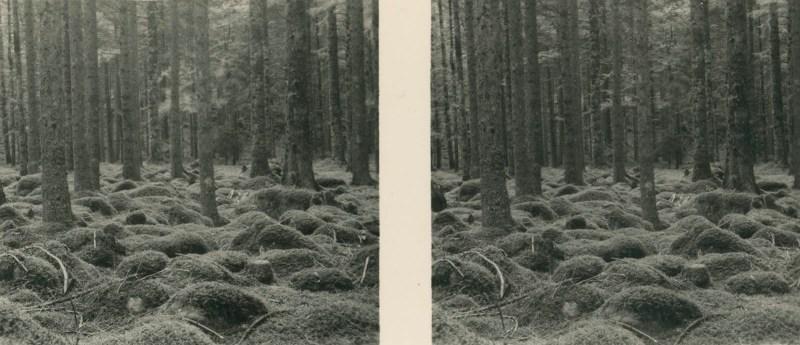 Aus der Lebensgemeinschaft des Waldes - Bild Nr. 7: Tannenhochwald im Nordschwarzwald