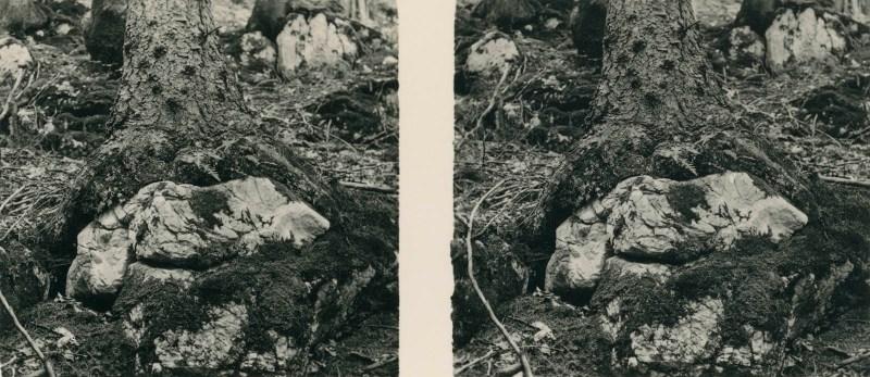 Aus der Lebensgemeinschaft des Waldes - Bild Nr. 15: Hochgebirgs-Fichten auf Felsenboden