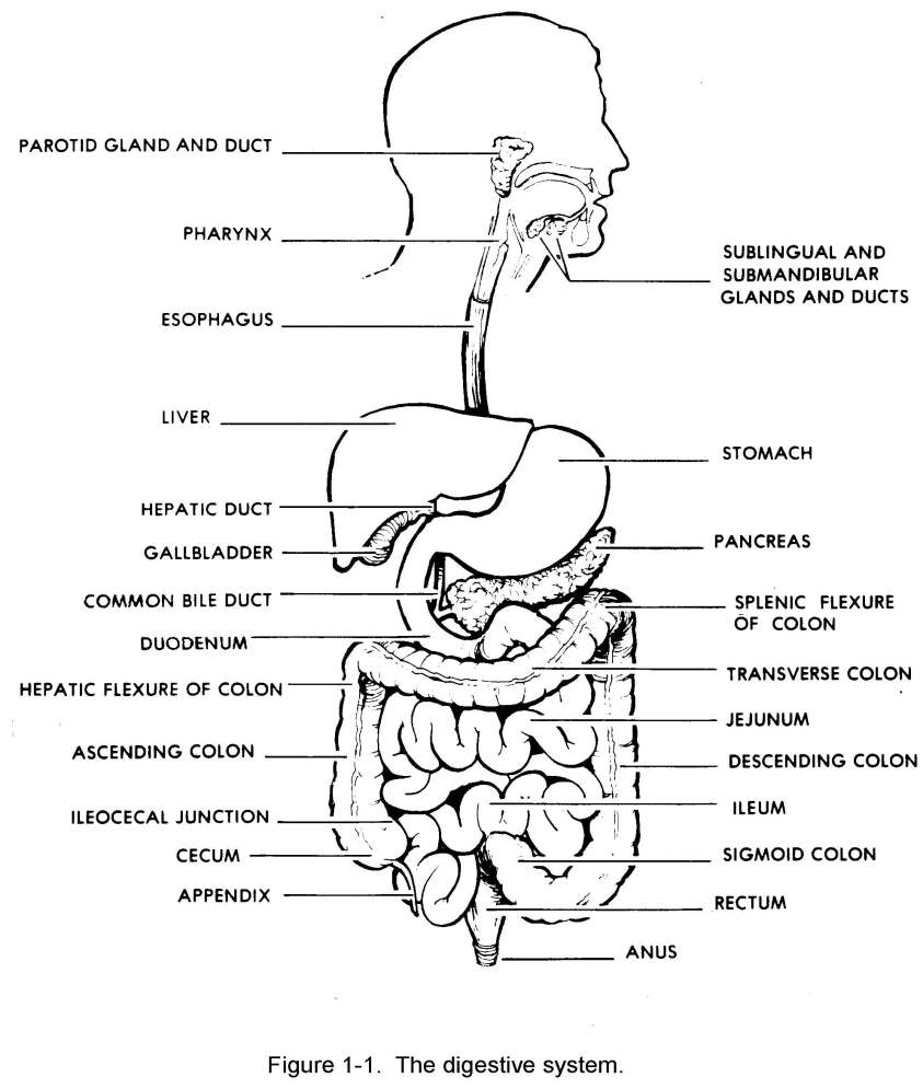 Images 06. Digestive System | Basic Human Anatomy
