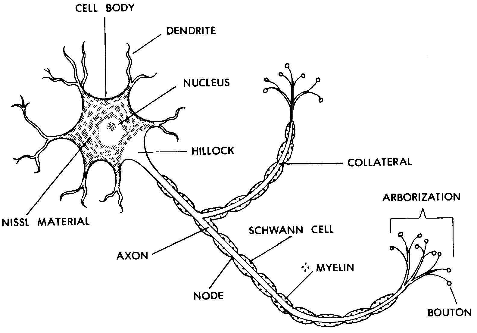 Typical Eukaryotic Cell Diagram