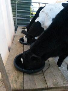 Calves on milk