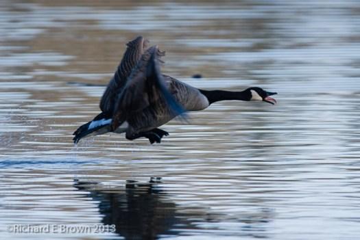 Canadian Goose - Take off