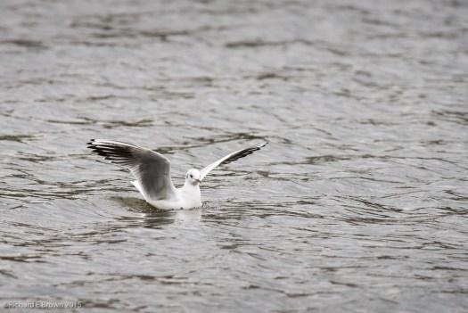 Black Headed Gull - Winter