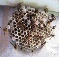 wasp-nest-3