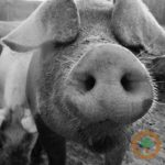 Ag economist says tariffs will hurt pork producers