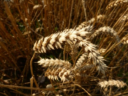 Wheat at Stoneywell