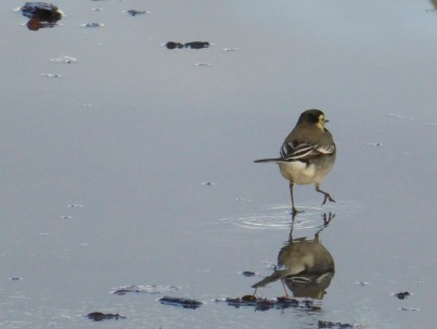 On the side terrace, there's a bird garden. This pied wagtail was having a ball.