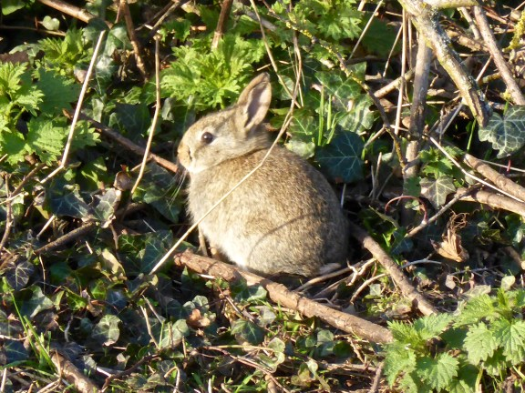 I spotted this wee bunny at Croxall. Suspected he might have myxie, but he seems healthy - probably just enjoying the sun!