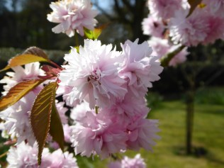 Canwell cherry blossom